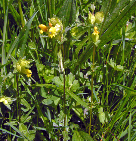 Rhinanthus minor ssp minor whole