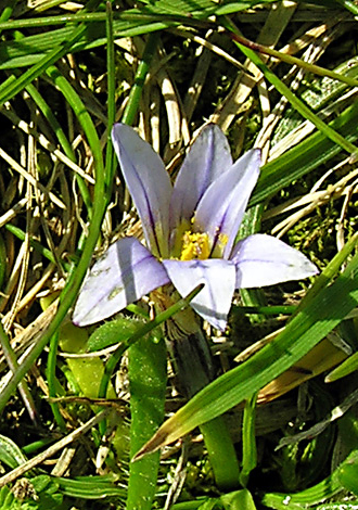 Romulea columnae close
