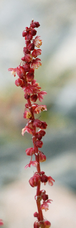 Rumex acetosella close