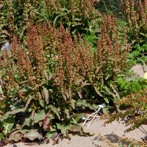Rumex rupestris whole