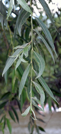 Salix alba leaves