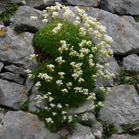 Saxifraga canaliculata whole