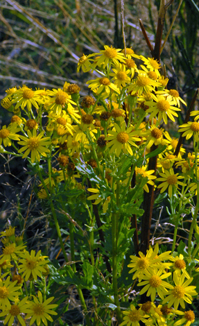 Senecio jacobaea close