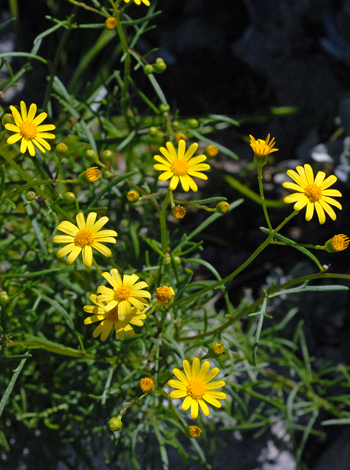 Senecio pinnatifolius close