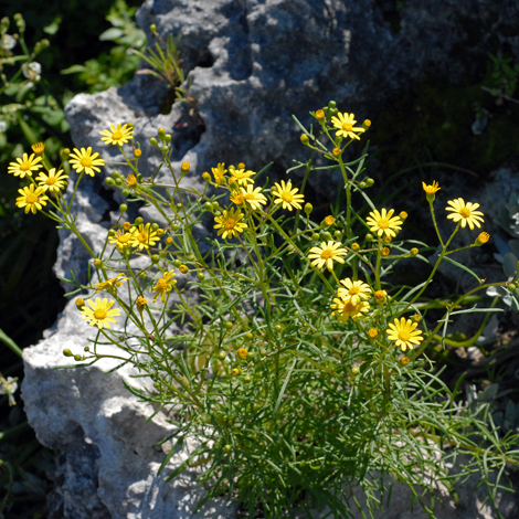 Senecio pinnatifolius whole