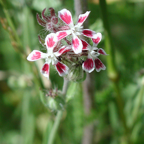 Silene gallica close