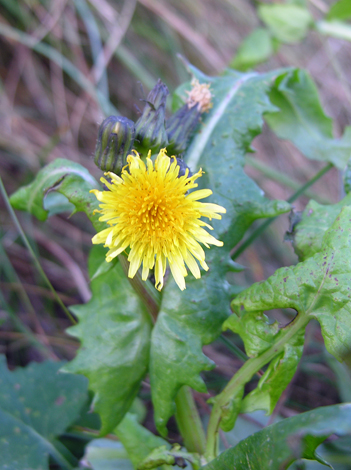 Sonchus oleraceus close