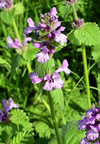 Stachys macrantha close