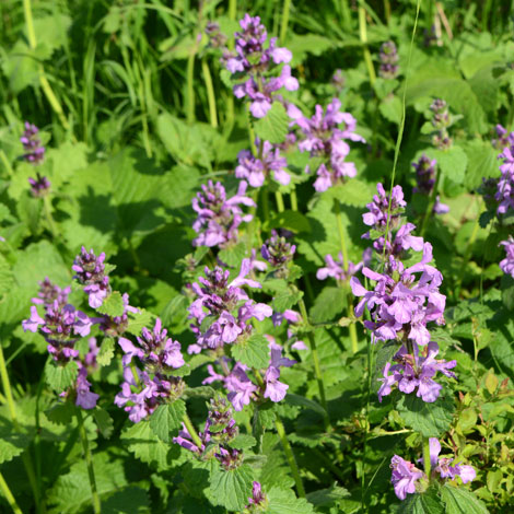 Stachys macrantha whole