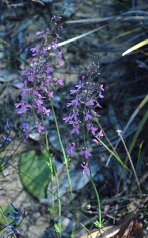 Stylidium brunonianum whole