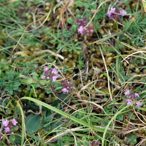 Thymus pulegioides whole