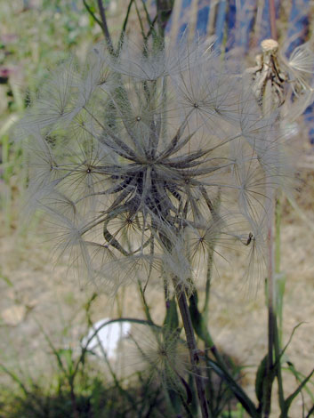 Tragopogon pratensis ssp minor fruit